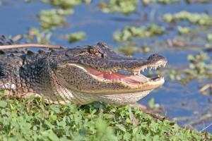 Animals - Gator