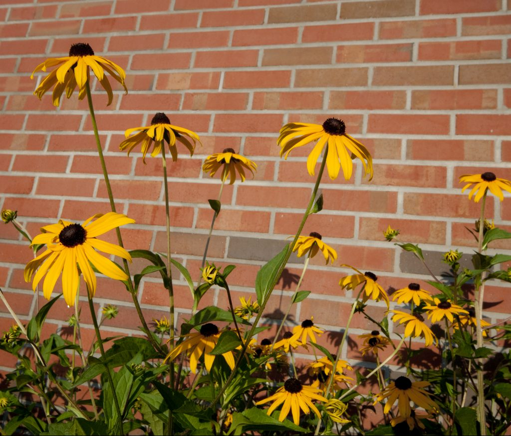 Yellow flowers in front of a brick building
