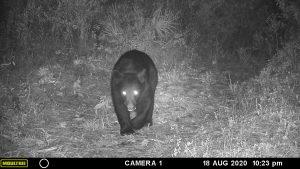 Camera trap: Bear