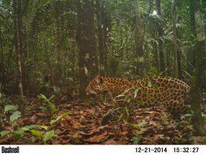 Camera trap: Jaguar in Guyana