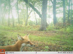 Camera trap: Fox at UF campus