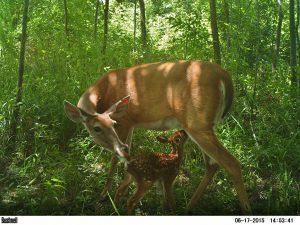 Camera trap: Deer in Payne's Praire